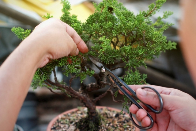 Learn the Ancient Art of Bonsai with Miami Bonsai Society member, Ray Kincaid. Master the history of bonsai, understand the basic care and maintenance of growing a bonsai tree, explore the tools used to create bonsai and learn the styles and rules that govern styling a bonsai tree. Limited spots available! Link in bio to register! . If you would like to purchase a bonsai tree prior to the class, please send us a direct message. . #Fairchildtropicalbotanicgarden #FairchildGarden #GardenLife #BeautifulPlaces #Thingstodoinmiami #Floridatravel