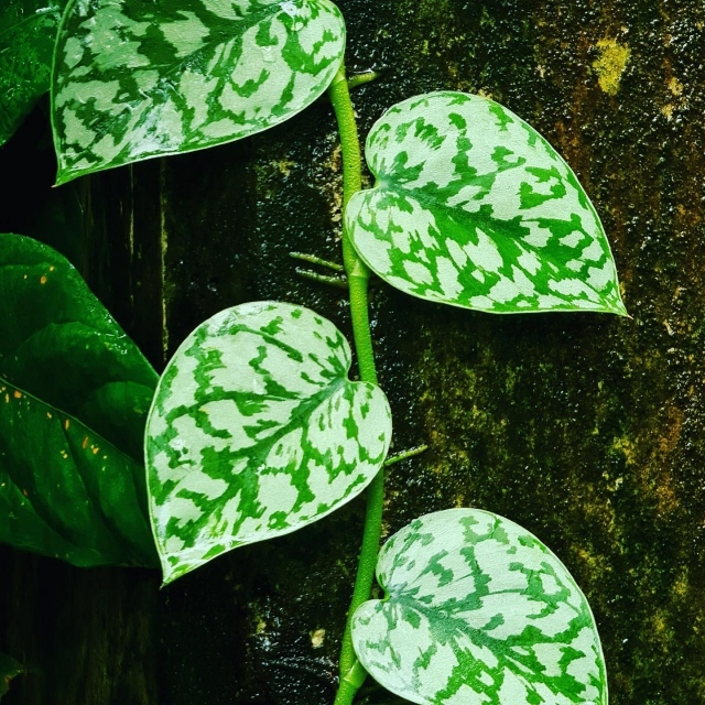 The leaves of Scindapsus sp. 'Silver Lady' are works of art and look like they are painted in silver brushstrokes over a dark green heart-shaped canvas. This elegant climber graces the Tropical Plant Conservatory and is benefitting greatly from our new cloud forest. 🌱  📸: @chadhusby our amazing Chief Explorer! . #fairchildtropicalbotanicgarden #tropicalplants #beautifulplaces #gardenlife