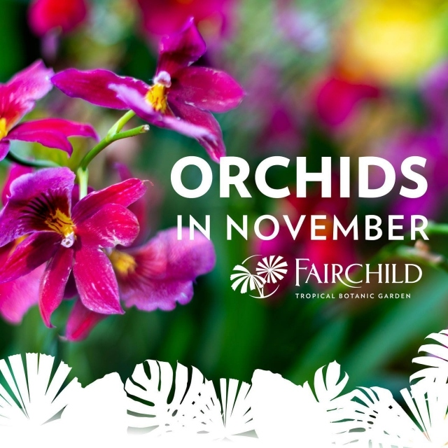 This weekend, November 14 & 15, we welcome back some of your favorite, local orchid vendors who will be bringing their best and loveliest orchids just for you!  Come enjoy the fresh outdoors and spend an orchid filled weekend at the Garden! 💚 Event ticket link in bio 😊 . Safety is our number one priority- please read our Covid policies and procedures in bio . #fairchildtropicalbotanicgarden #orchids #beautifulplaces #gardenlife #fairchildgarden