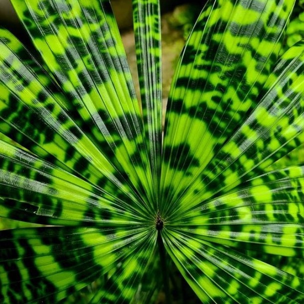 The mapu palm (Licuala mattanensis) is a small species from the rainforest understory of Borneo and has spectacular leaf patterns. Plan your visit to the Garden and stop by the Tropical Plant Conservatory to see this beauty. 💚 📸: @chadhusby  . #fairchildtropicalgarden #beautifulplaces #tropicalplants #fairchildtropicalbotanicgarden