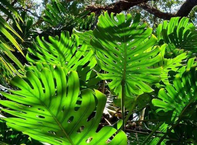 Staycationing? Come to the Garden to witness the gentle winter sunlight highlight the beauty of Monstera deliciosa leaves in the Rainforest canopy.  It is quite a site to see. 💚 . 📸: @chadhusby #fairchildgarden #tropicalplants #plantsmakepeoplehappy #beautifulplaces