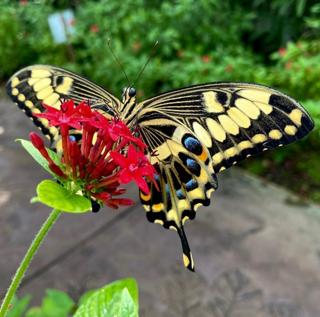 WOW, take a look at this beauty! Our emperor swallowtails are enjoying their new home at #WingsOfTheTropics, Fairchild's exotic butterfly exhibit! . 🦋: Papilio ophidicephalus, the emperor swallowtail, is a butterfly of the family Papilionidae. It is found in Sub-Saharan Africa. . #fairchildtropicalgarden #beautifulplaces #gardenlife #butterflies #fairchildgarden