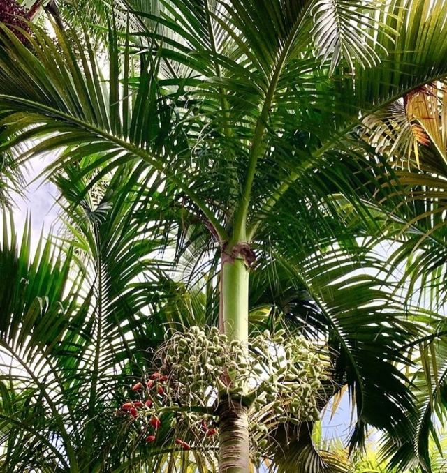 Life is definitely better with Palm Trees. 🌴🌴🌴 The Carpoxylon macrospermum is an elegant solitary palm from Vanuatu with arching leaves held atop a long green crown shaft.  . Our experts have this beauty ready for your home Garden. Link in bio to purchase Fairchild plants! 💚