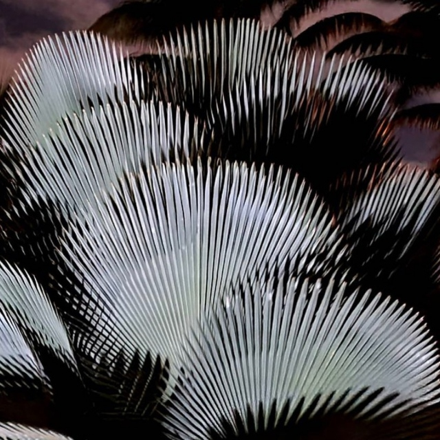 😍💚😍! The Bailey palm (Copernicia baileyana) from Cuba is among the most stunningly ornamental palms in the world. Its rigidly geometric leaves make an amazing array. 📸:@chadhusby . #fairchildtropicalgarden #beautifulplaces #thetropics #fairchildgarden