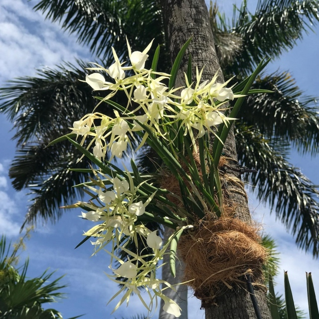 Did you know that Lincoln Road is home to over 1200 orchids! Fairchild and @lincolnrd have reimagined the landscape of Lincoln Road as a botanic garden. 💚 Please join us this Sunday, April 25th at 11:00 a.m. for a 45-minute guided tour of Lincoln Road's orchids and tropical plantings, led by Fairchild Tropical Botanic Garden Director, Dr. Carl Lewis and Dr. Jason Downing, Fairchild's Orchid Biologist 😊 Link in bio to register  . #fairchildtropicalbotanicgarden #miamisgarden #onlincoln #fairchildonlincoln #beautifulplaces