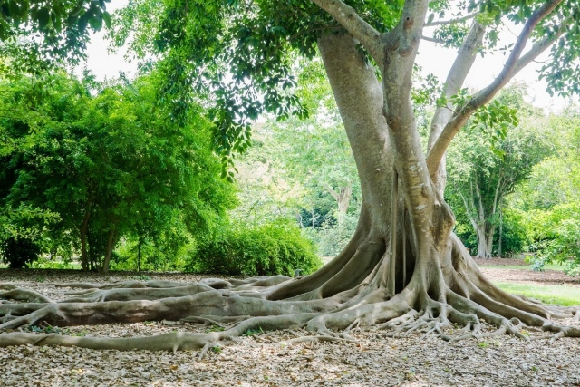 Happy National Arbor Day! This is Ficus subcordata, grown from seed collected by Dr. David Fairchild in the Philippines in 1939 early in the Cheng Ho Expedition.  It is about as old as the Garden and like the Garden, it is  looking better than ever.  This magnificent tree is located in the heart of our Arboretum, which is truly a magical place to explore! 💚 . #fairchildtropicalbotanicgarden #miamisgarden #myfairchild #beautifulplaces
