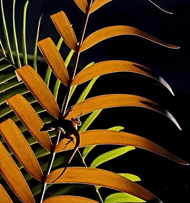 An Anolis sp. lizard resting on a beautiful dark young leaf of Ceratozamia robusta in the Montgomery Palmetum, highlighted by our wonderful new lighting system.  The Garden at night is quite an experience. Wanderful evenings at the Garden will be back soon! 😊 . #fairchildtropicalgarden #miamisgarden #beautifulplaces #fairchildgarden #myfairchild  . 📸: @chadhusby